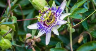 5 Benefits of Passionflower & How To Use It
